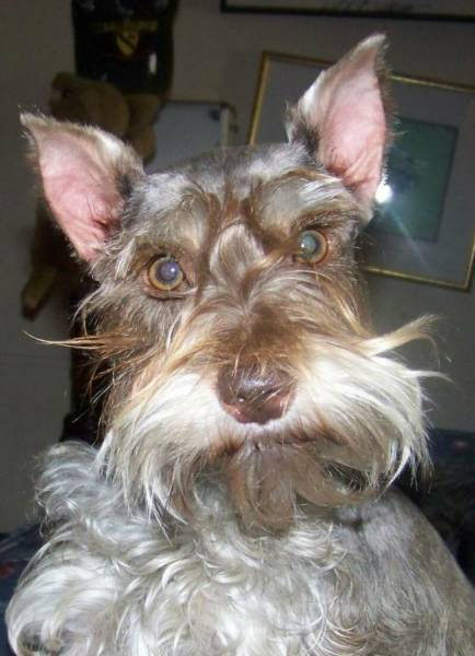 Photos Are Miniature Schnauzers Directly Related To